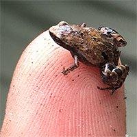 Phát hiện 5 loài ếch tí hon trên đảo Madagascar