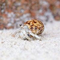 Phát hiện bất ngờ về loài ốc mượn hồn