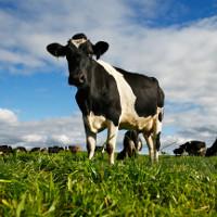 Phát hiện bò có khả năng chống virus HIV