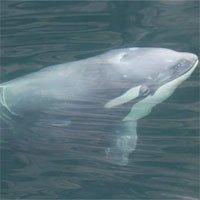 Phát hiện cá voi sát thủ trắng hiếm gặp