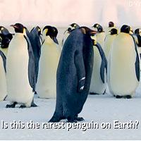 Phát hiện chim cánh cụt hoàng đế đen tuyền cực hiếm