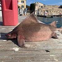 Phát hiện con cá mập kỳ dị có gương mặt... lợn