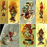 Phát hiện côn trùng phát sáng trong hổ phách 99 triệu năm