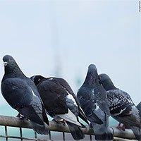 Phát hiện đáng sợ: Ngón chân chim bồ câu biến dạng ở đô thị