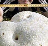 Phát hiện được nấm khổng lồ ở Nga