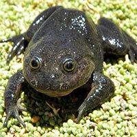"""Phát hiện """"ếch ma"""" tưởng đã tuyệt chủng tại ốc đảo ở Chile"""