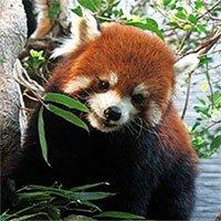 Phát hiện gấu trúc đỏ không chỉ có một loài duy nhất