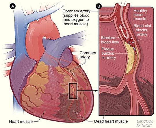 Phát hiện gen kiểm soát tín hiệu của nhịp tim