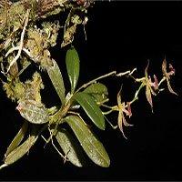 Phát hiện giống lan mới trong rừng rậm Peru