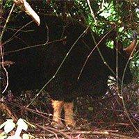 Phát hiện hàng chục con bò tót ở rừng Phong Nha - Kẻ Bàng