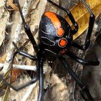 Phát hiện họ hàng mới của nhện