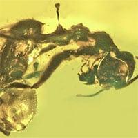 Phát hiện hổ phách kiến chết kẹt cùng nấm ký sinh 50 triệu năm