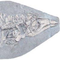 Phát hiện hóa thạch 200 triệu năm tuổi với chiếc bụng chứa đầy mực ống