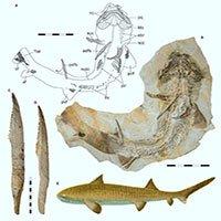 Phát hiện hóa thạch cá mập kỷ Jura được bảo quản cực tốt ở Đức