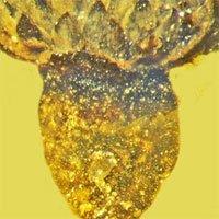 Phát hiện hóa thạch loài hoa mới có niên đại 100 triệu năm