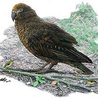 Phát hiện hóa thạch loài vẹt lớn nhất thế giới cao một mét