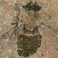 Phát hiện hóa thạch ruồi