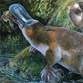Phát hiện hóa thạch thú mỏ vịt lớn nhất tại Australia