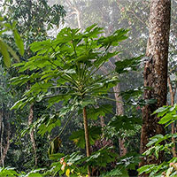 Phát hiện hợp chất ở loài cây nhiệt đới chữa khỏi ung thư tuyến tụy