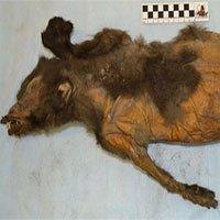Phát hiện kinh ngạc khi giải phẫu xác chú chó còn nguyên vẹn sau 14.000 năm