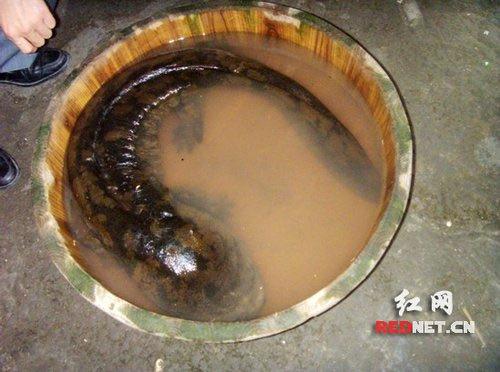 Phát hiện kỳ nhông khổng lồ ở Trung Quốc