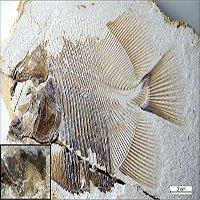 Phát hiện loài cá ăn thịt sớm nhất, sống cùng khủng long