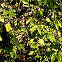 Phát hiện loài cà phê mới có quả màu đen kỳ lạ