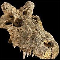 Phát hiện loài cá sấu cổ đại quái dị, mọc sừng trên đầu