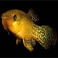 Phát hiện loài cá sống được trong nước ô nhiễm 1.000 lần