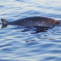 Phát hiện loài cá voi mới có mỏ kỳ lạ chưa từng được biết đến