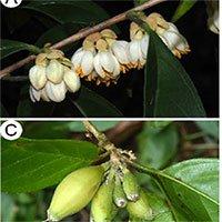 Phát hiện loài cây mới ở dãy Trường Sơn