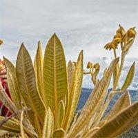 Phát hiện loài cây mới thuộc họ Cúc có khả năng giữ nước