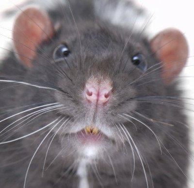 Phát hiện loài chuột cổ đại to bằng con chó