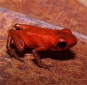 Phát hiện loài ếch có độc mới tại Panama