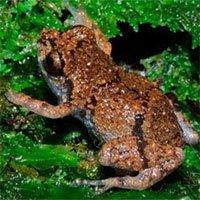 """Phát hiện loài ếch """"tí hon"""" mới Diasporus tại Costa Rica"""
