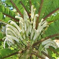 Phát hiện loài hoa siêu hiếm còn tồn tại ở Hawaii