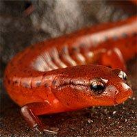 Phát hiện loài kỳ giông mới có màu đỏ rực