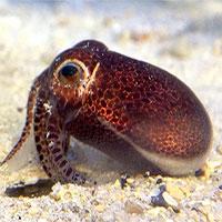 Phát hiện loài mực mới ở Okinawa, Nhật Bản