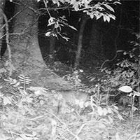 Phát hiện loài nghi Sao la ở Phong Nha - Kẻ Bàng