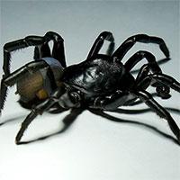 Phát hiện loài nhện khổng lồ có nọc độc sống thọ hàng chục năm