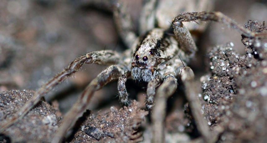 Phát hiện loài nhện phát ra