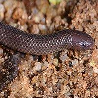 Phát hiện loài rắn độc mới có thể tấn công ngang