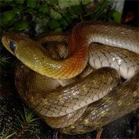Phát hiện loài rắn hoa cỏ đổi thức ăn để tích lũy độc tố