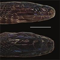 Phát hiện loài rắn vảy óng ánh ở Việt Nam