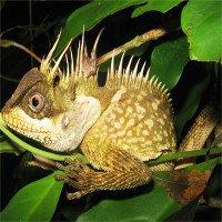Phát hiện loài thằn lằn giống hệt rồng