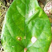 Phát hiện loài thực vật mới tại Việt Nam