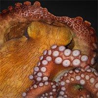 Phát hiện mới: bạch tuộc có thể mơ suốt 2 phút, cơ thể liên tục đổi màu sắc và hình dáng
