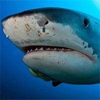 Phát hiện mới cho thấy: Cá mập hổ không hề sợ hãi mỗi khi gặp bão lớn
