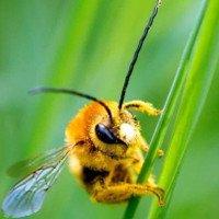 Phát hiện mới đầy thú vị về khả năng học hỏi của loài ong nghệ
