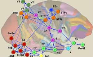 Phát hiện mới về bộ não của động vật linh trưởng